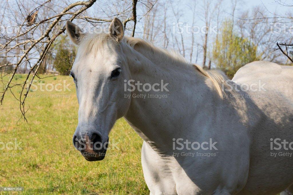 Closeup of white horse stock photo