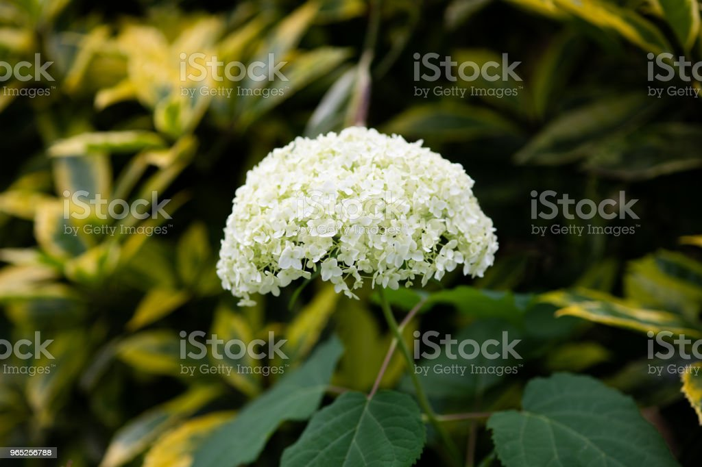 close-up of white hydrangea flower royalty-free stock photo
