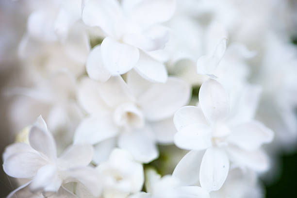 royalty free white lilac pictures images and stock photos istock