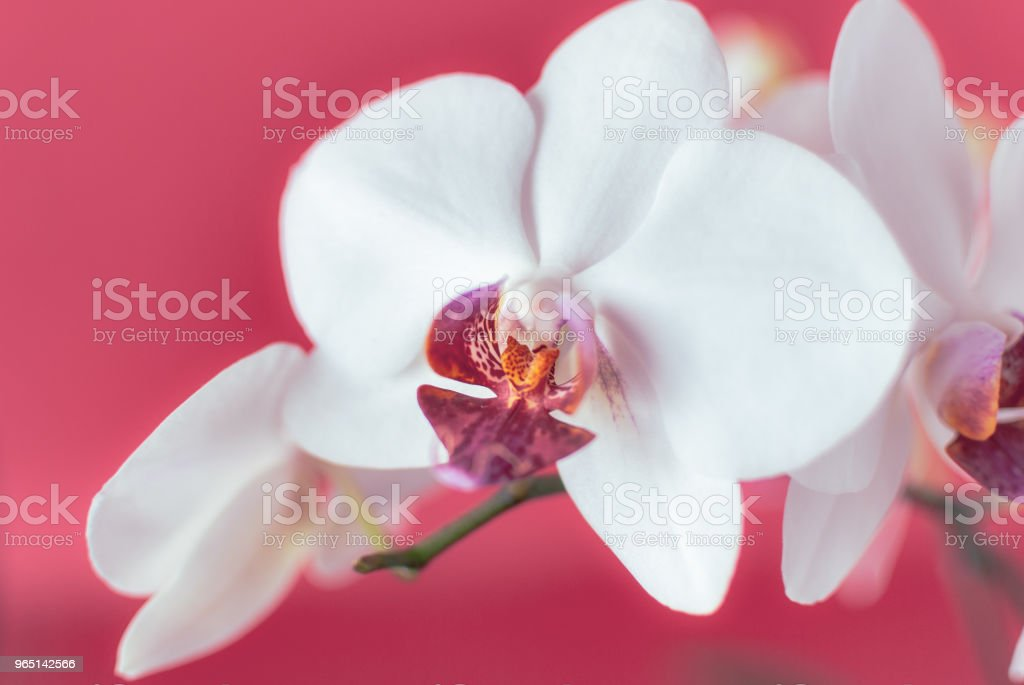 Close-up of White Orchid Flowers. royalty-free stock photo