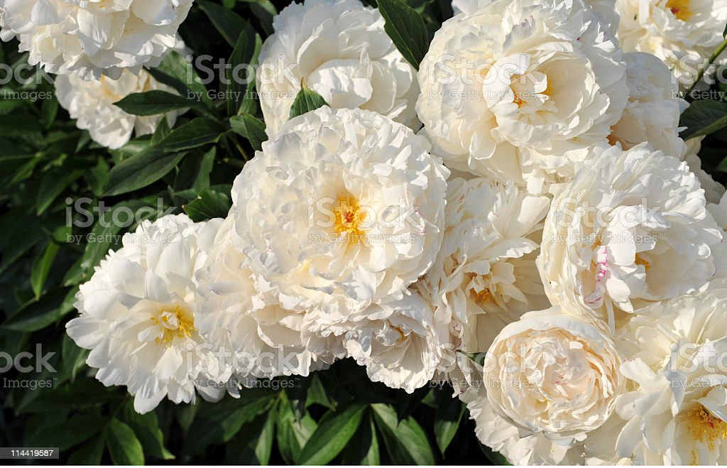 Close-up of  white peonies in full bloom royalty-free stock photo