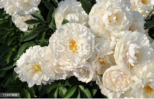 Flower bed with beautiful blooming  white peonies.