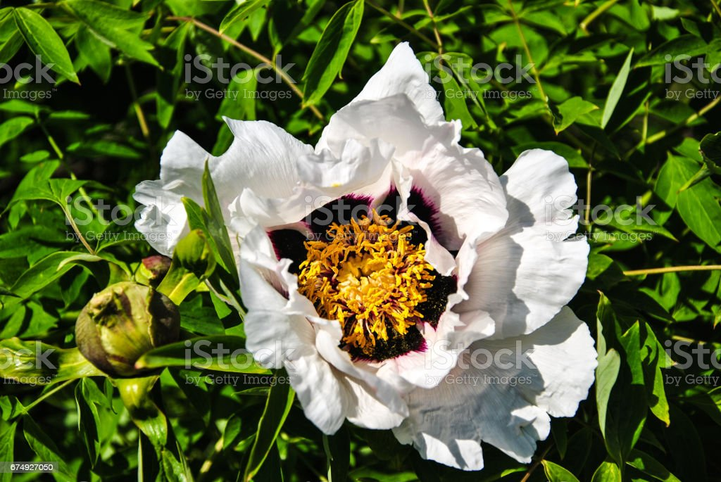 Close-up of white peony flower at the meadow at Kyiv, Ukraine. royalty-free stock photo