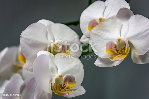 Closeup of white phalaenopsis orchid flower Phalaenopsis known as the Moth Orchid or Phal on the grey background. Selective focus.