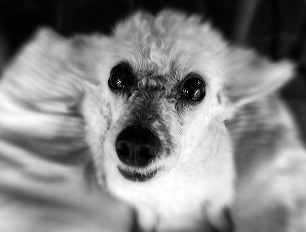 Close-up de branco cachorro poodle - foto de acervo