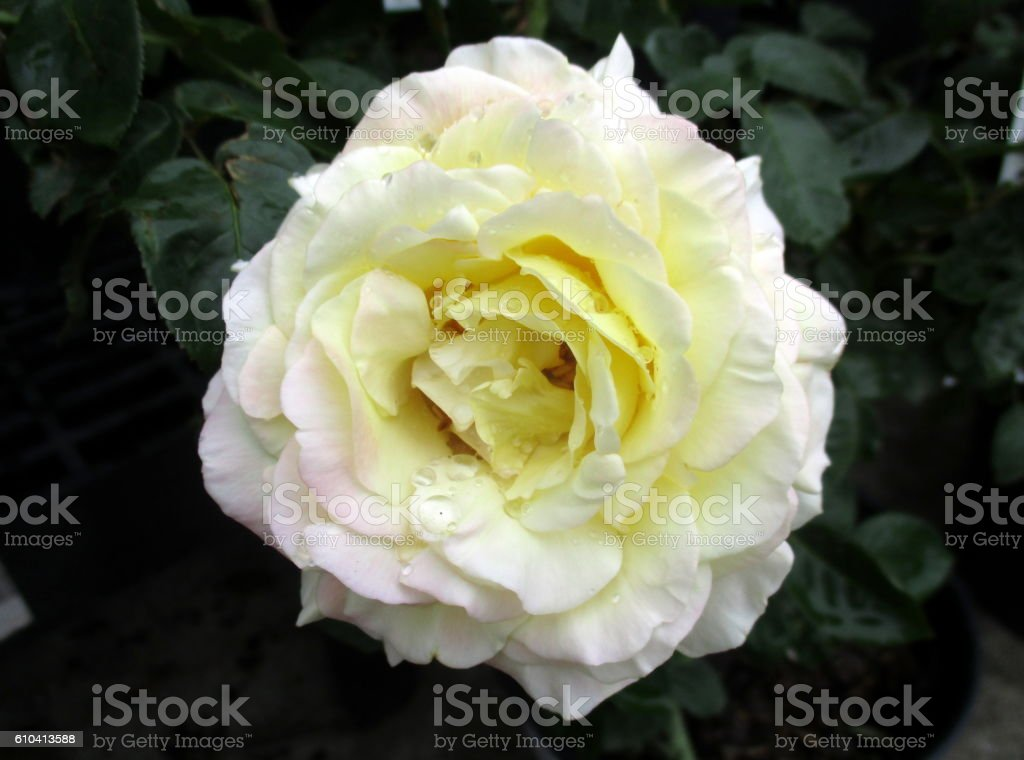 Close-up of White Rose Bloom Surrounded by Green Leaves stock photo