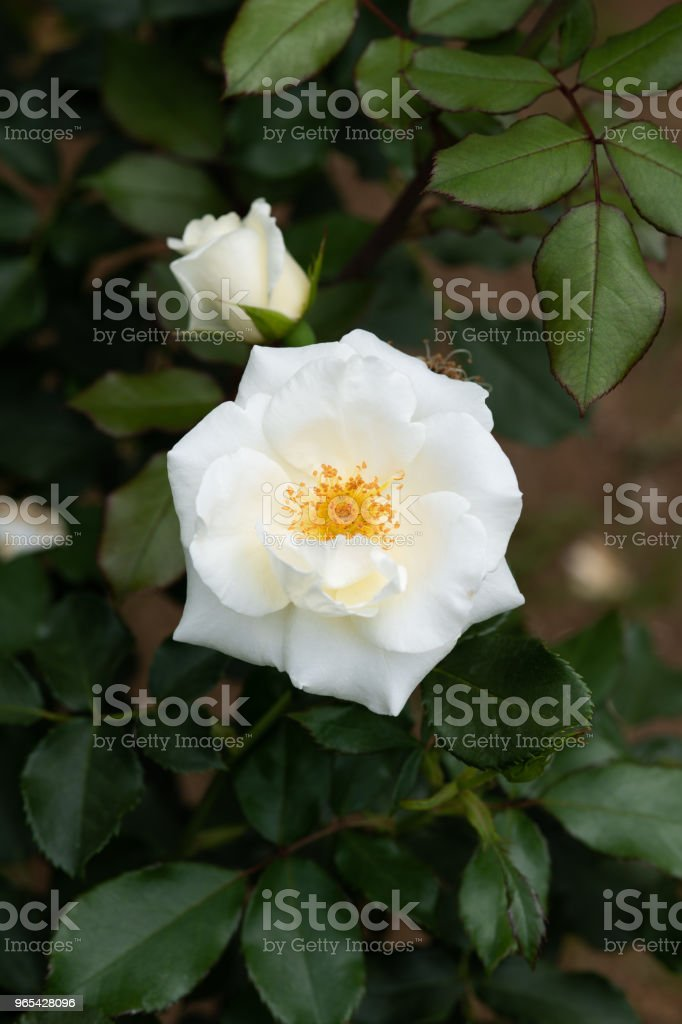close-up of white rose flower 'White Magic' royalty-free stock photo