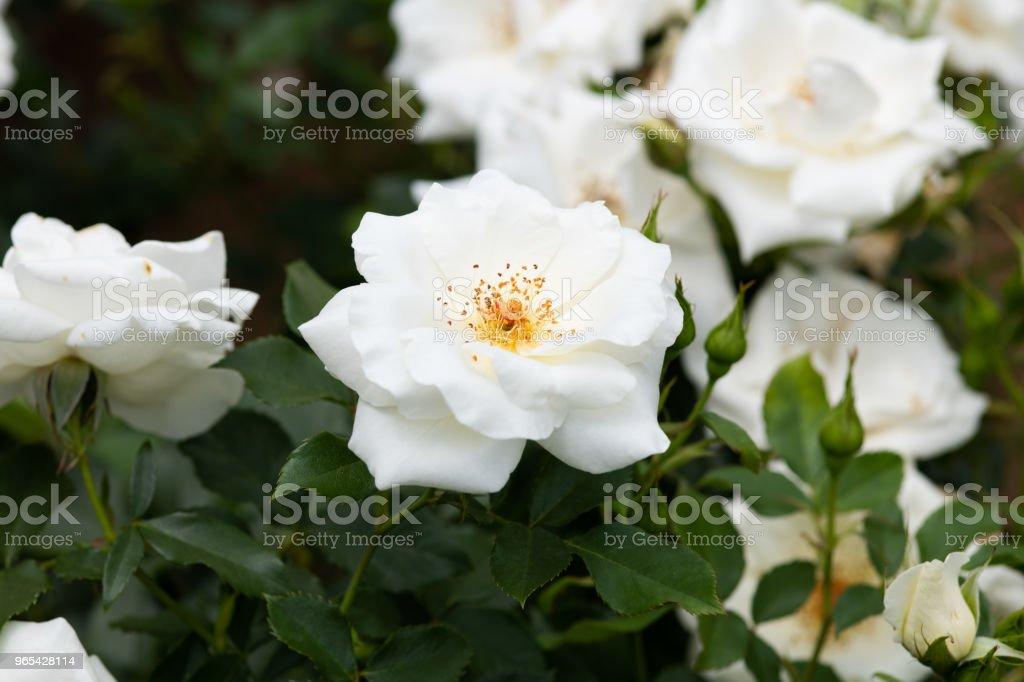 gros plan d'une fleur rose blanche «Magie blanche» - Photo de Beauté libre de droits