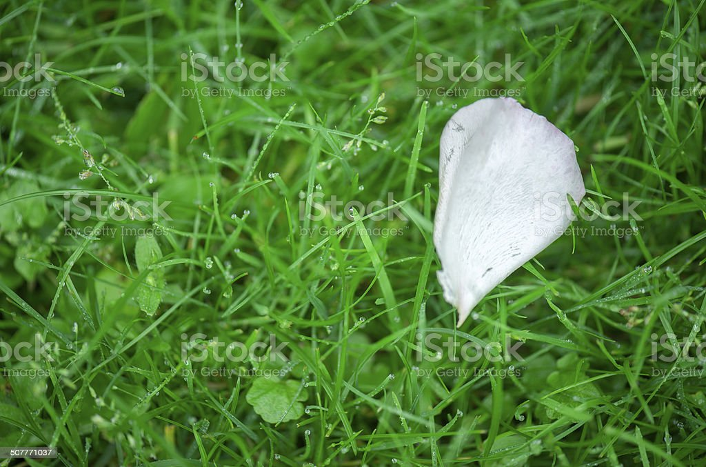 Close-up of white rose petal in green grass after rain royalty-free stock photo