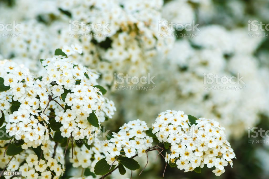 close-up of white spirea flowers stock photo