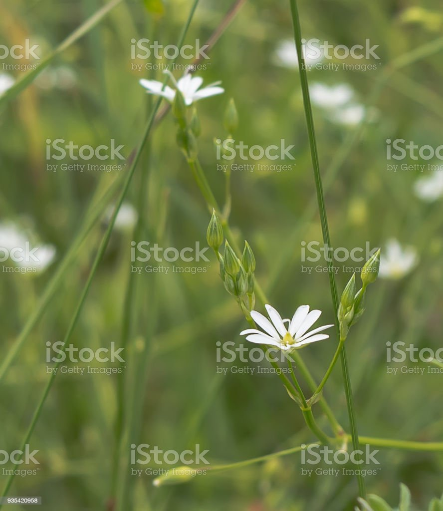 Closeup of white tiny flower in the meadow stock photo