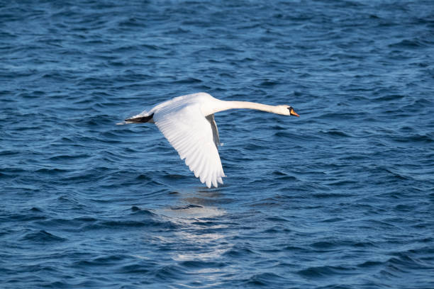 A closeup of white whooper swan against the blue sea. stock photo