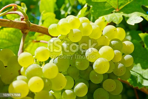 Close-up of white wine grapes in the Danube Valley (Spitz), Lower Austria