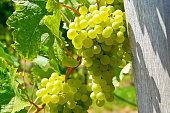 Close-up of white wine grapes in the famous Wachau