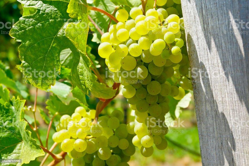 Nahaufnahme der Weißweintrauben in der berühmten Wachau – Foto