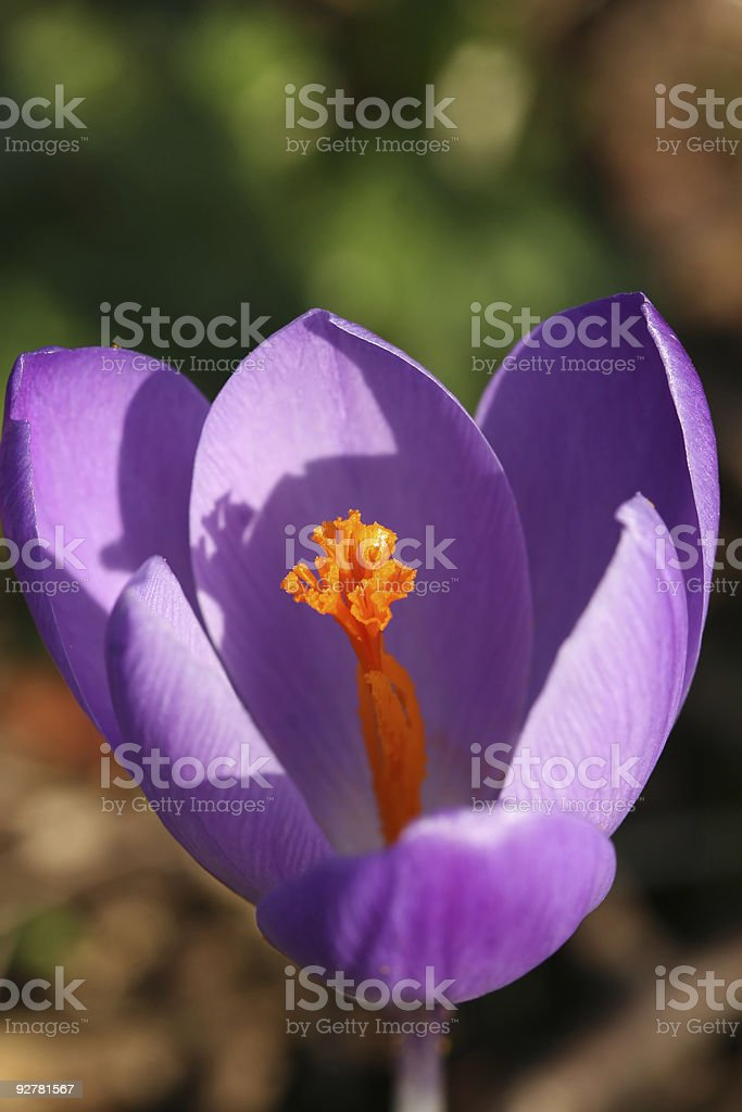 Close-up of whitewell purple crocus royalty-free stock photo