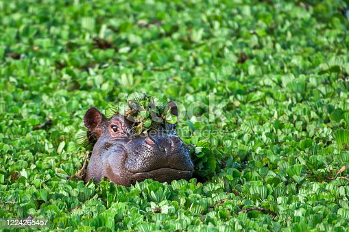 Wild hippopotamus poking it's head out a pond covered with water lettuce.  This and other hippos would dive to bottom of pond to feed and then come up to the surface to catch their breath before diving down again.  Taken on the Serengeti Plains, Masai Mara National Reserve, Kenya, Africa