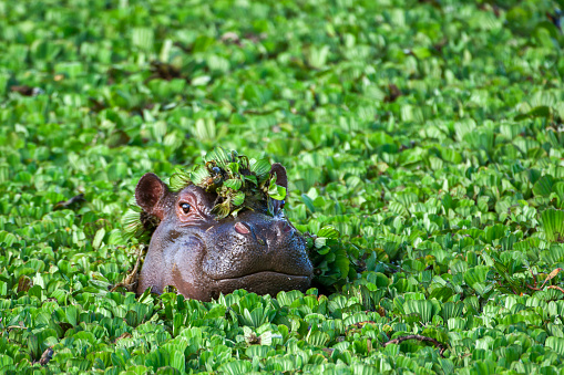 A Hippo seen on a safari in South Africa