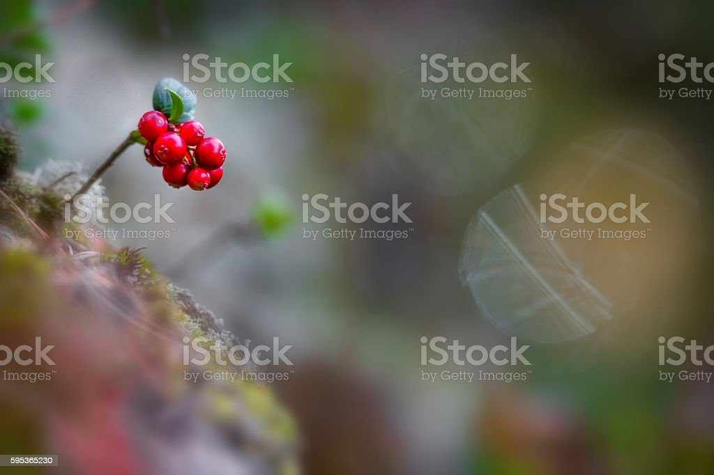 Closeup of wild and ripe lingonberries stock photo