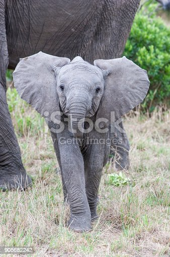 Elephant Mother and Baby. Elephants are large mammals of the family Elephantidae and the order Proboscidea. Elephants typically coexist peacefully with other herbivores, which will usually stay out of their way. Some aggressive interactions between elephants and rhinoceros have been recorded.