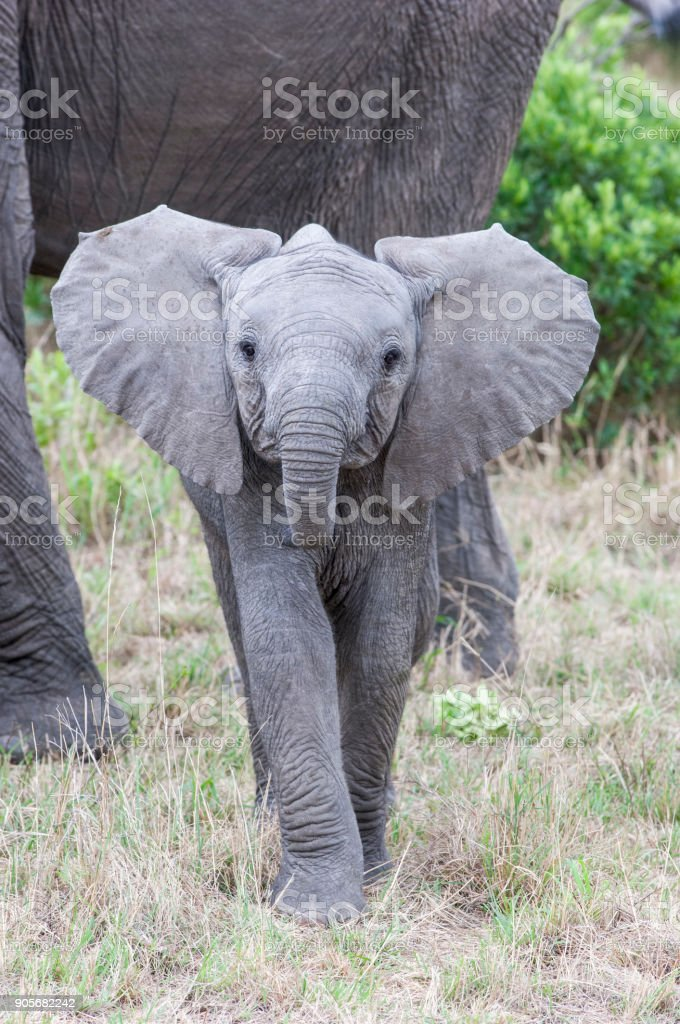 Close-up of Wild Baby Elephant Taking a Aggressive Posture stock photo