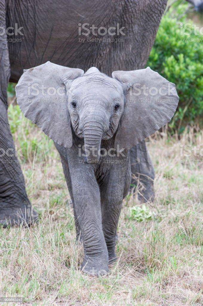 Primer plano de elefante salvaje bebé tomando una postura agresiva - foto de stock