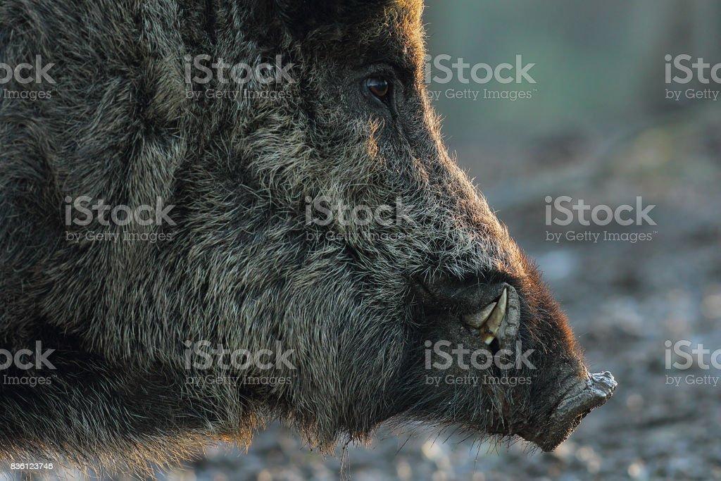 closeup of wild boar head at down stock photo