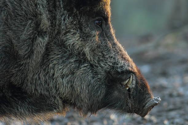 closeup of wild boar head at down - cinghiale animale foto e immagini stock