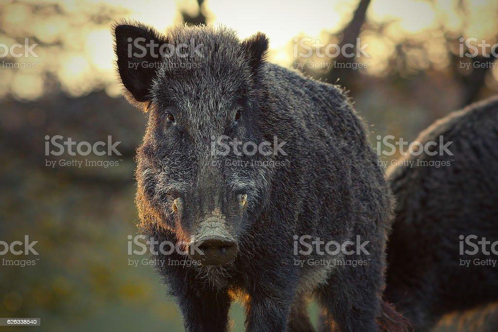 closeup of wild boar in sunset light stock photo