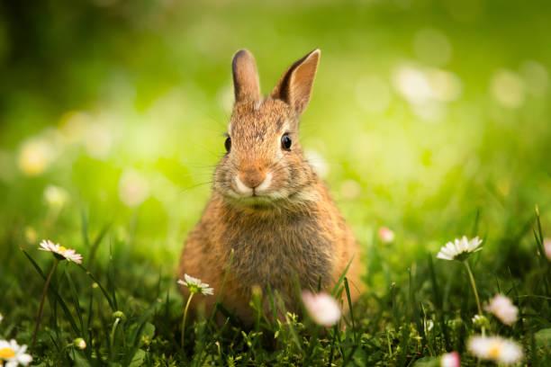 Primo piano di coniglietto selvatico nel prato verde con le margherite - Photo