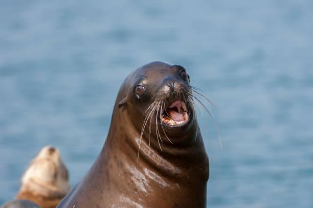 Close-up of Wild California Sea Lion Vocalizing stock photo