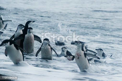 Close-up of Wild Chinstrap Penguins Standing on Antarctica Shore