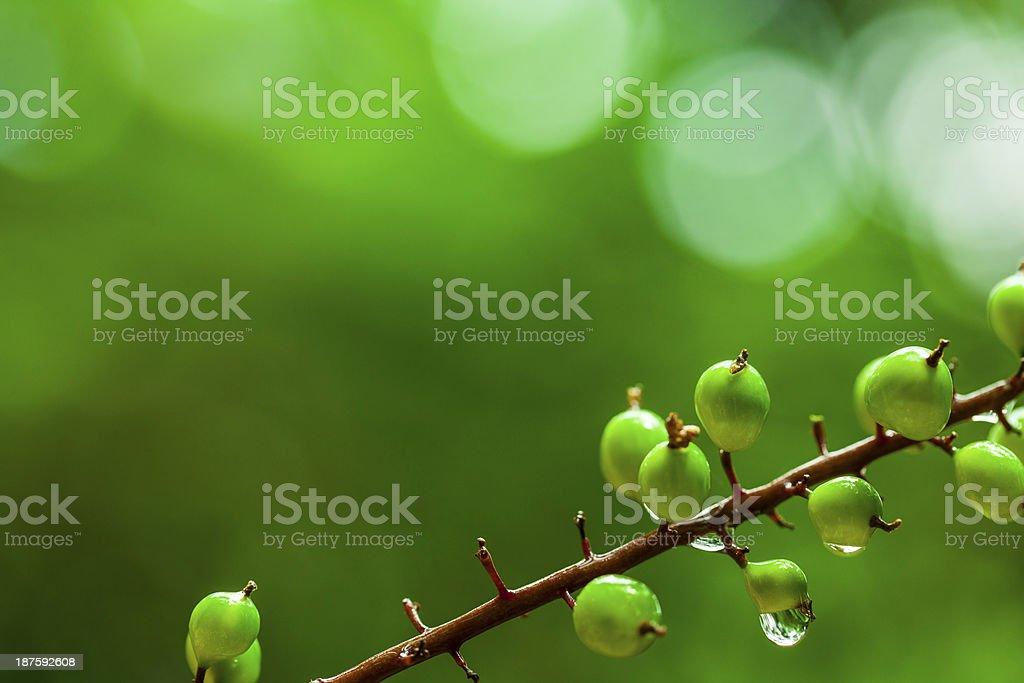 Close-up of Wild Fruit royalty-free stock photo