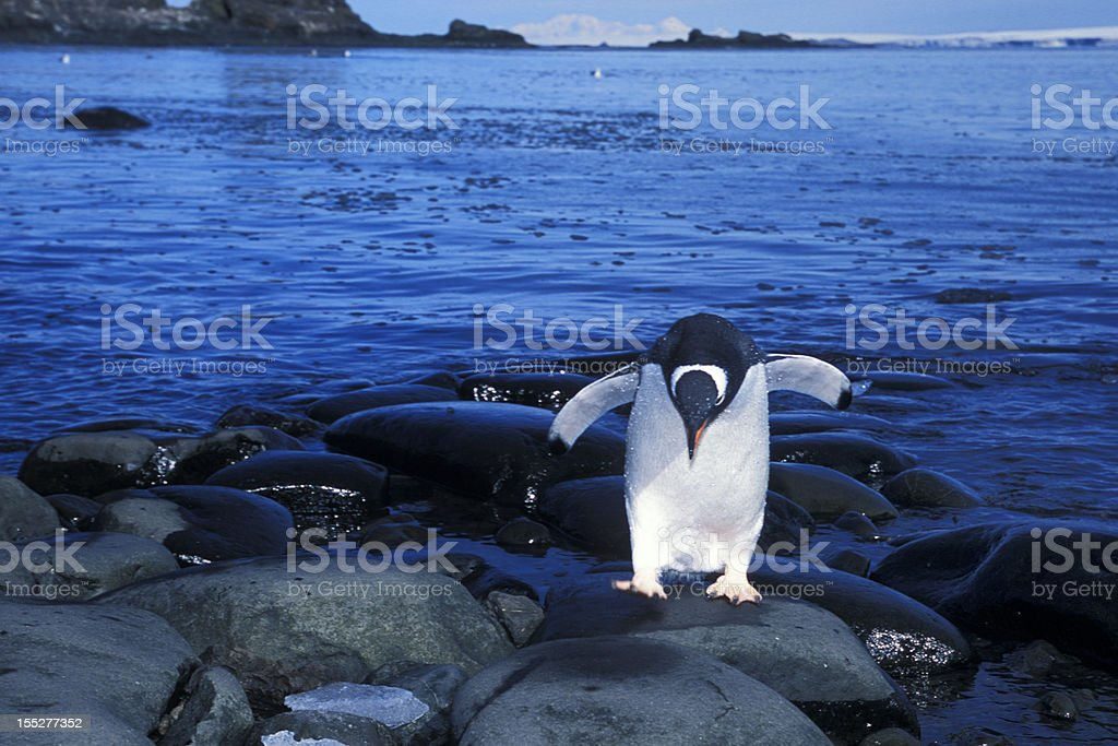 Close-up of Wild Gentoo Penguin on the Shore royalty-free stock photo