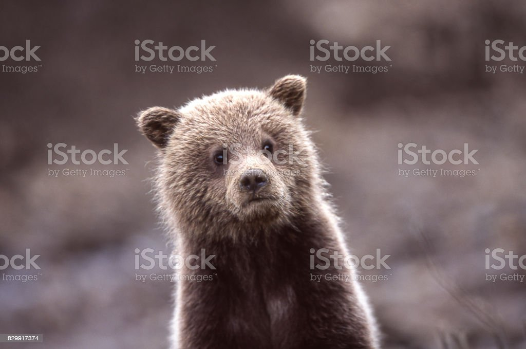Close-up of Wild Grizzly Bear Cub - foto de stock
