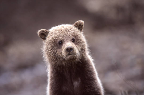 gros plan de sauvage grizzly bear cub - ourson photos et images de collection