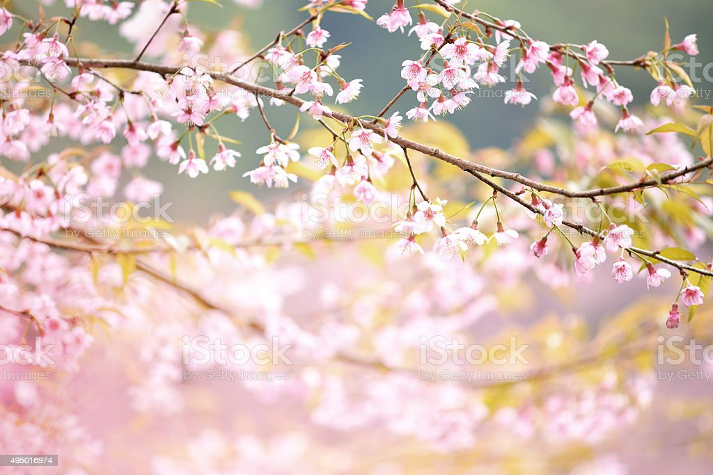 Closeup of Wild Himalayan Cherry  Vintage Color stock photo