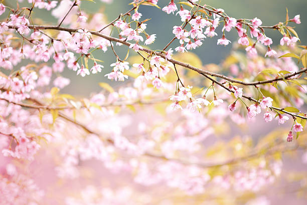 closeup of wild himalayan cherry  vintage color - february stock photos and pictures