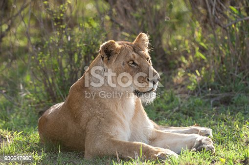 Wild Lioness (Panthera leo) resting in the shade, after killing a wildebeest for her and her two cubs.  Taken on the Massai Mara, Kenya, Africa