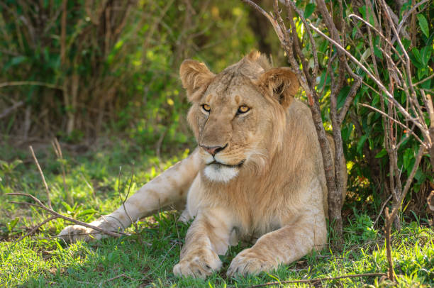 Close-up of Wild Lioness Resting in Shade stock photo