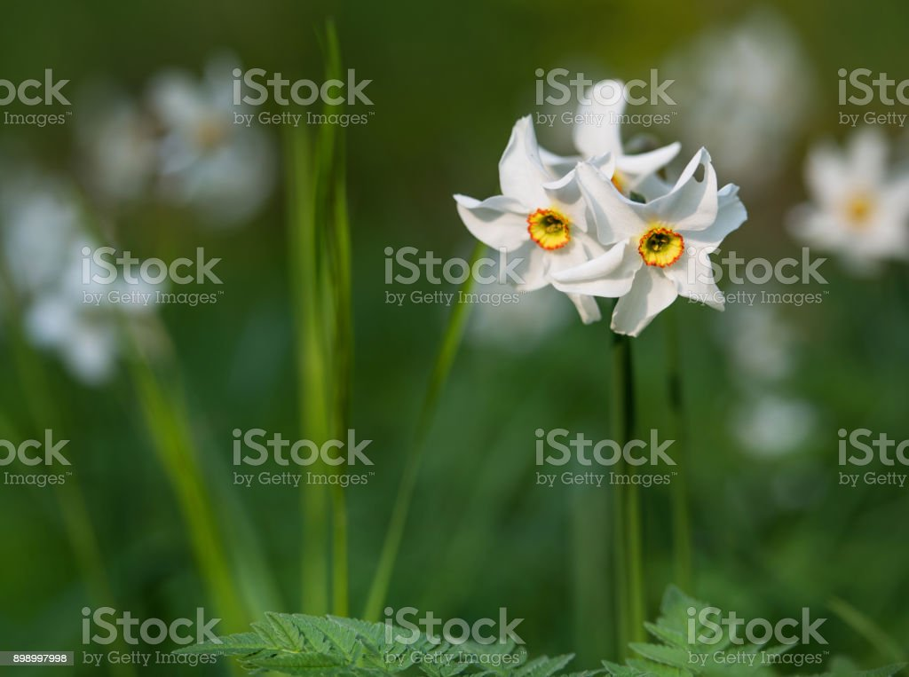 closeup of wild narcissus flowers stock photo