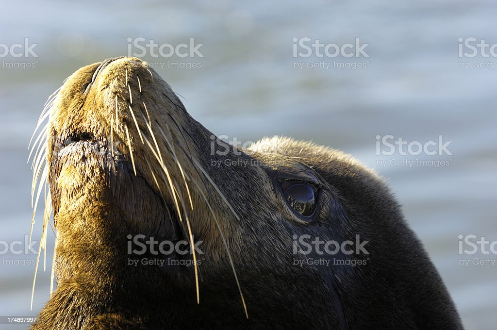 Close-up of Wild Sea Lion royalty-free stock photo