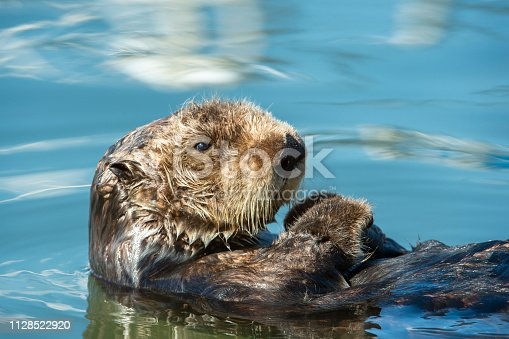 Close-up wild sea otter (Enhydra lutris) resting, while floating on his back. There are small ripples in the water reflecting the sky and clouds above the bay.  Taken in Moss Landing, California. USA