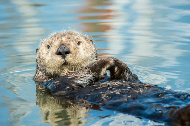 Close-up of Wild Sea Otter Resting in Calm Ocean Water stock photo