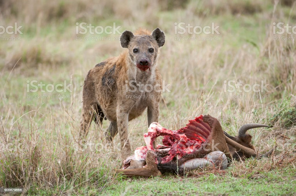 Closeup Of Wild Spotted Hyena Feasting On A Wildlife Kill Stock ...