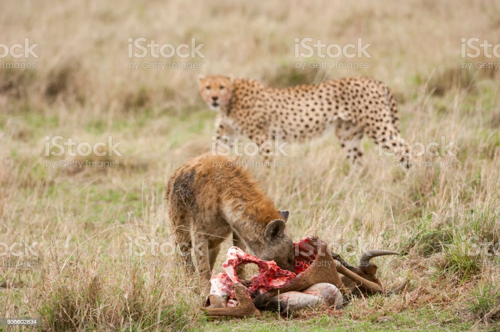 Close-up of Wild Spotted Hyena Feasting on a Wildlife Kill stock photo