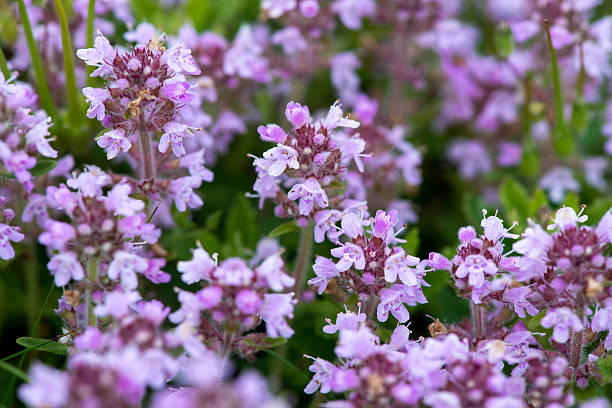 Closeup of wild thyme - selective focus, copy space stock photo