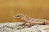 closeup of wild turkish gecko, or Mediterranean house gecko ( Hemidactylus turcicus )