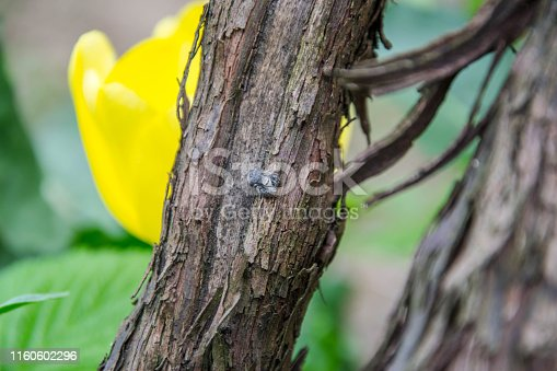 Itsy Bitsy Spider - small jumping spider on a wine bark, nature scene, rural