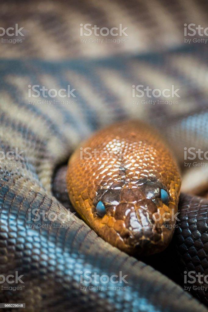 Close-up of Woma Python (Aspidites ramsayi) at rest. stock photo